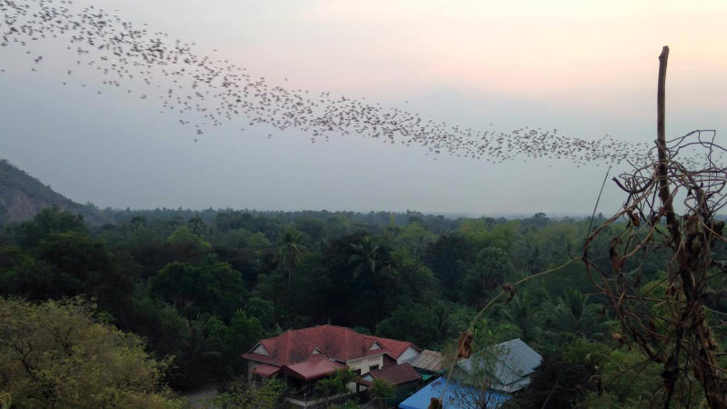 Battambang Bats in progress