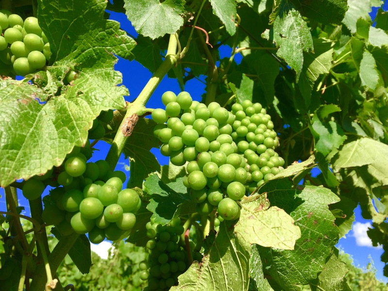 Grapes about to ripen, get those nets on
