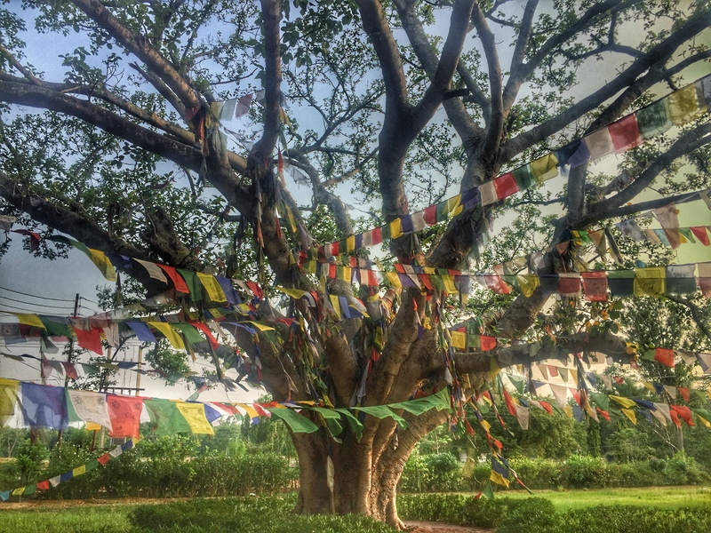 tree where buddhas birthplace is